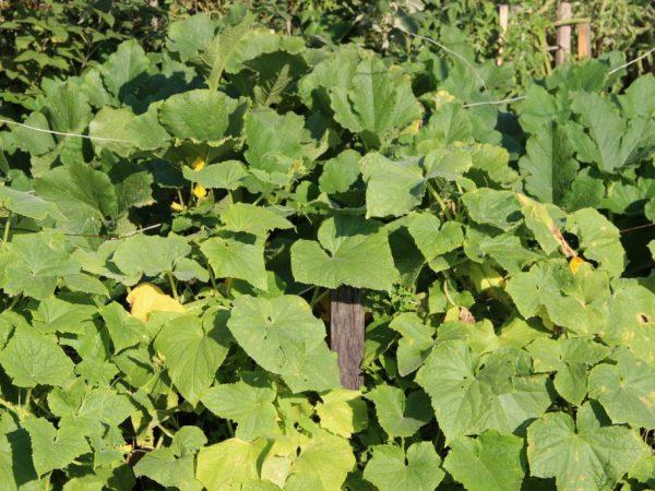 Причины появления жёлтых листьев на огурцах