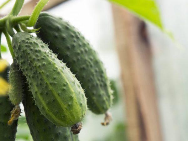Причиной деформации плодов часто становится неправильно подобранный сорт