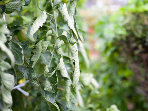 Растения нуждаются в удалении лишней зелени