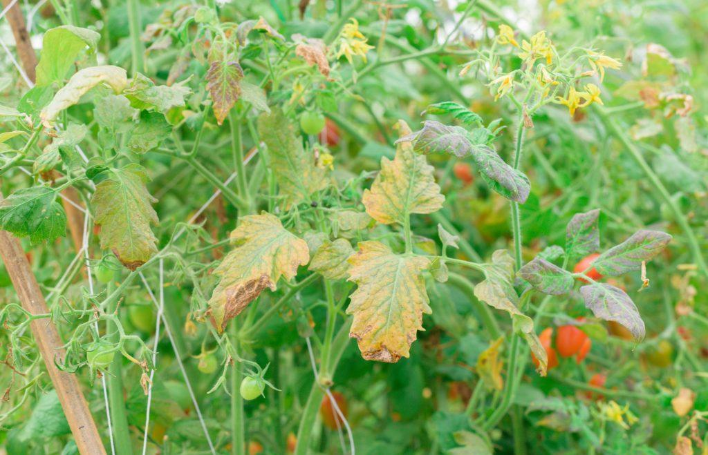 Почему закручиваются верхушки у томатов в теплице