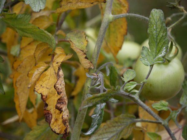 Причина пожелтения листьев рассады помидор