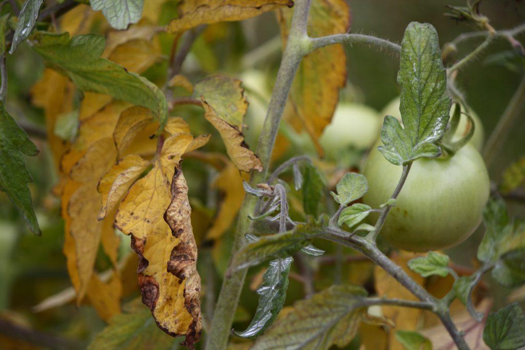 Почему может желтеть рассада помидор