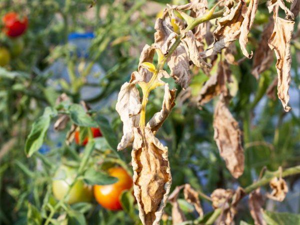 Грибок может привести к увяданию растения