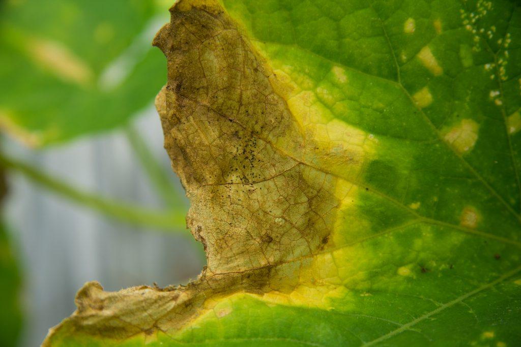 Пожелтение огурцов в теплице причины лечение профилактика