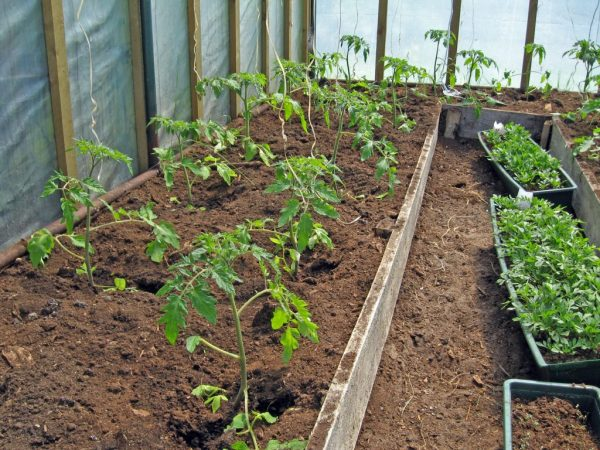 Как подкармливать помидоры при высадке в теплице