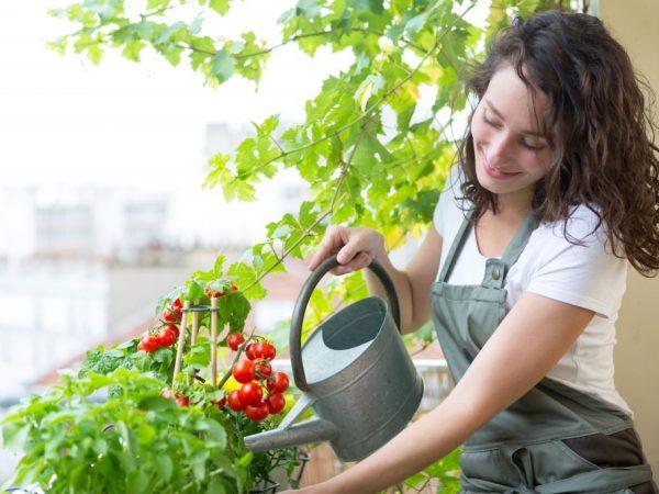 Подкормка домашней рассады томатов