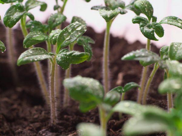 Азот обеспечит хороший рост всходов