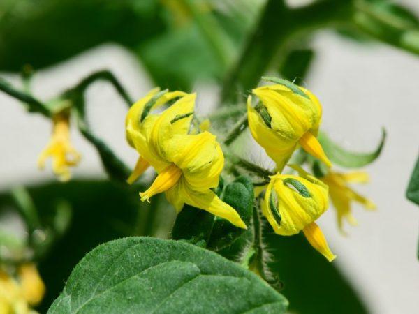 Подкормка в период цветения очень важна для томатов