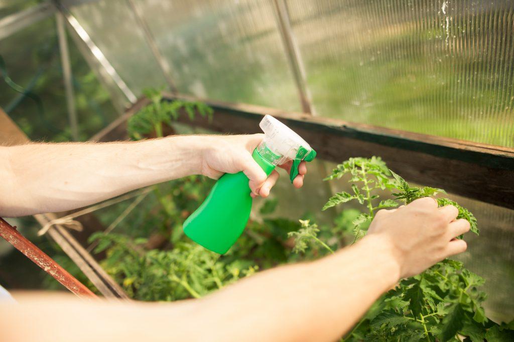 Подкормка томатов дрожжами как сделать и поливать удобрение можно ли