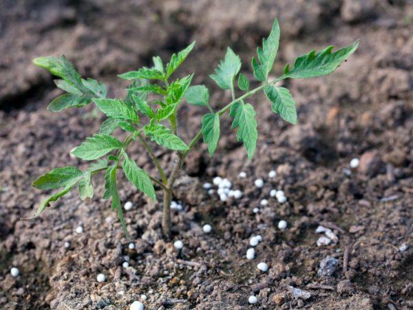 Удобрение можно внести в лунки перед посадкой