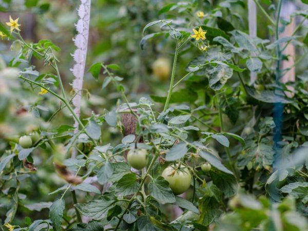 Удобрение для томатов можно приготовить самостоятельно