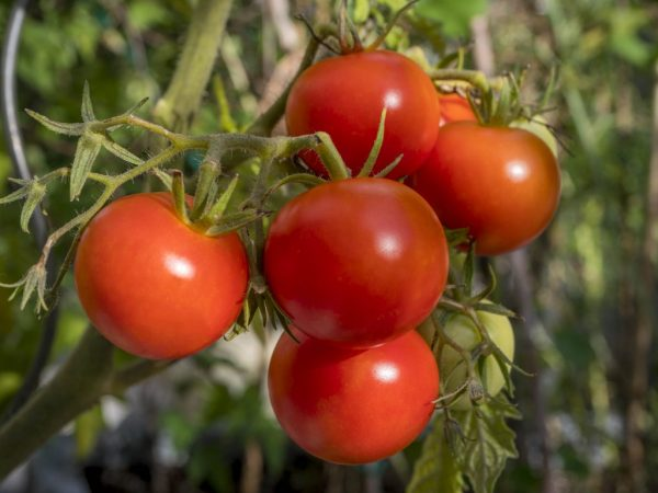 томат полбиг характеристика и описание сорта