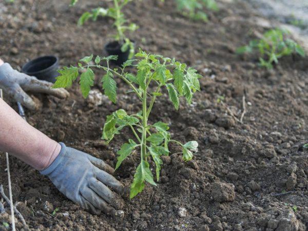 Менять местоположение высадки томатов лучше раз в два года