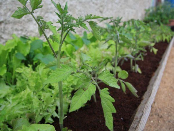 При какой температуре можно высаживать рассаду помидор в открытый грунт