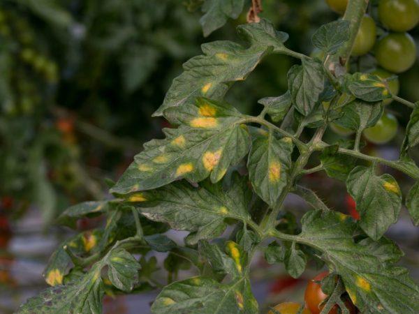 Заражённое растение может быстро погибнуть