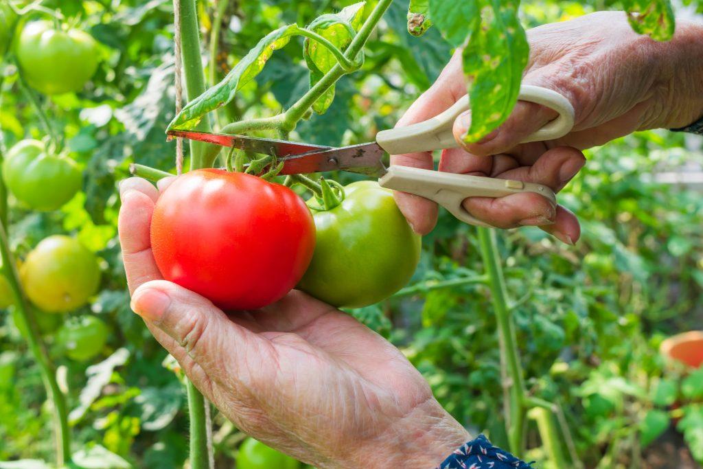 Томат Райское наслаждение: характеристика и описание сорта, отзывы тех кто сажал помидоры об их урожайности, фото семян Аэлита