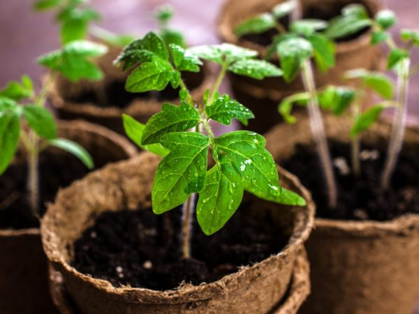 Недостаток фосфора негативно влияет на рассаду