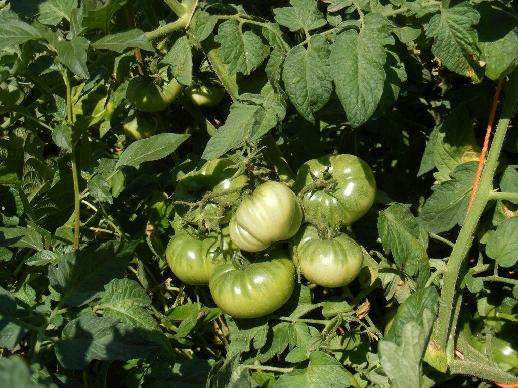 Полное описание и характеристика томата Рио-Гранде