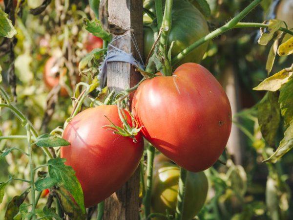 Плоды крупные и очень вкусные