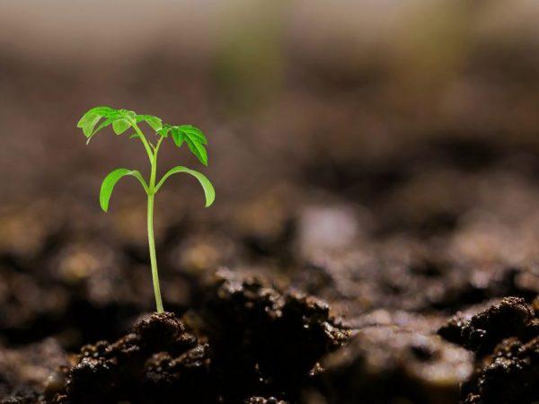 Высаживать рассаду в открытый грунт рекомендуется в июне