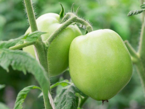 Плоды годятся для употребления в любом виде