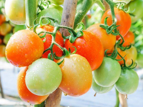 Разновидности сибирских сортов томатов