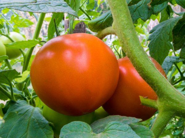 Плоды можно употреблять в любом виде