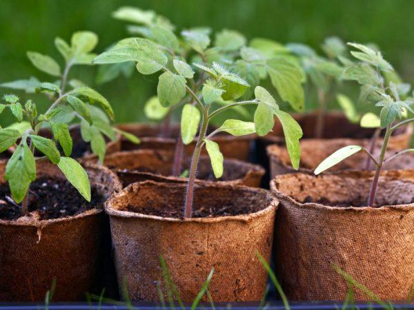Используйте для выращивания рассады торфяные стаканы