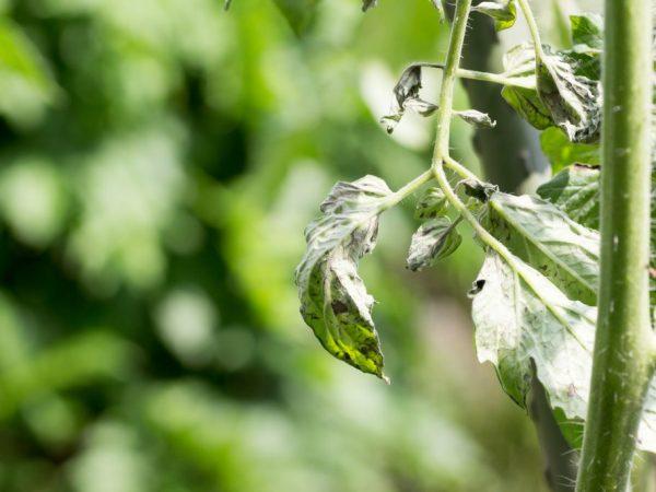 Причины скручивания листьев у помидоров