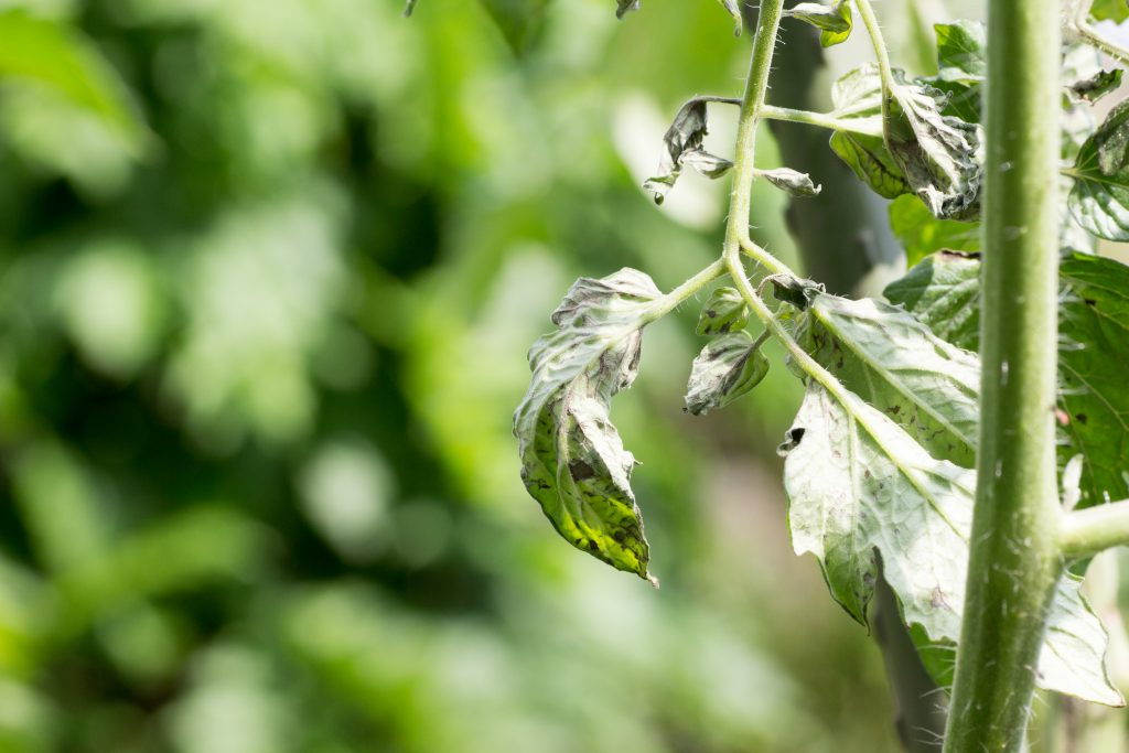 Что делать если скручиваются листья у помидоров