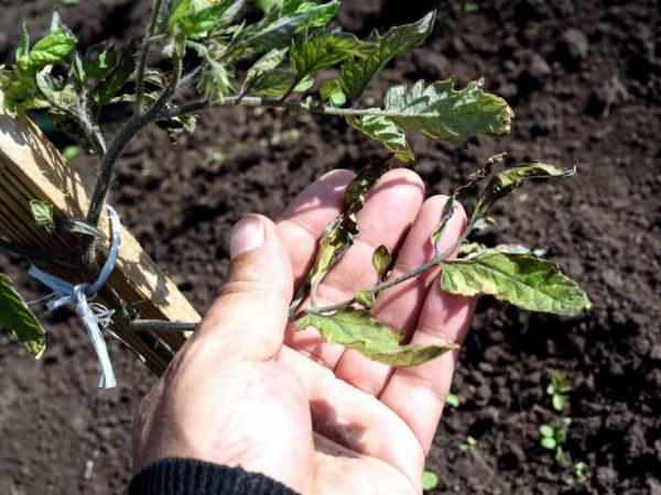Недостаток удобрений влияет на внешний вид листьев