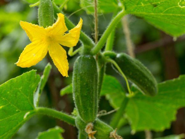 При выращивании рассадой плоды появятся быстрее