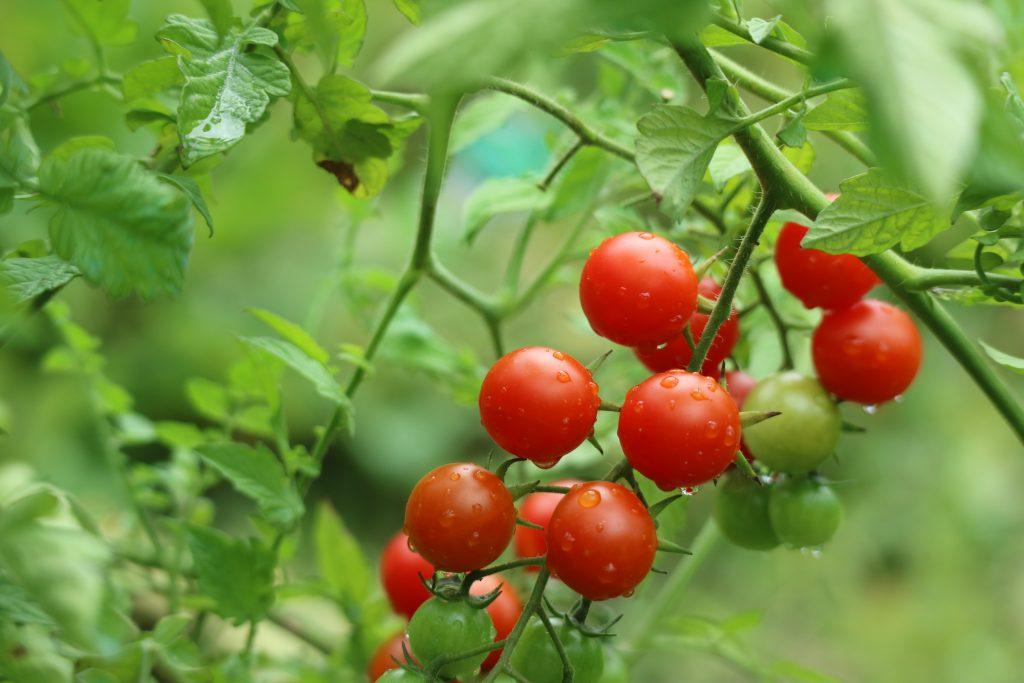 Формирование томата типа Свит-черри