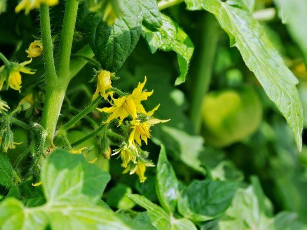 Правильный уход за растением обеспечит хороший урожай