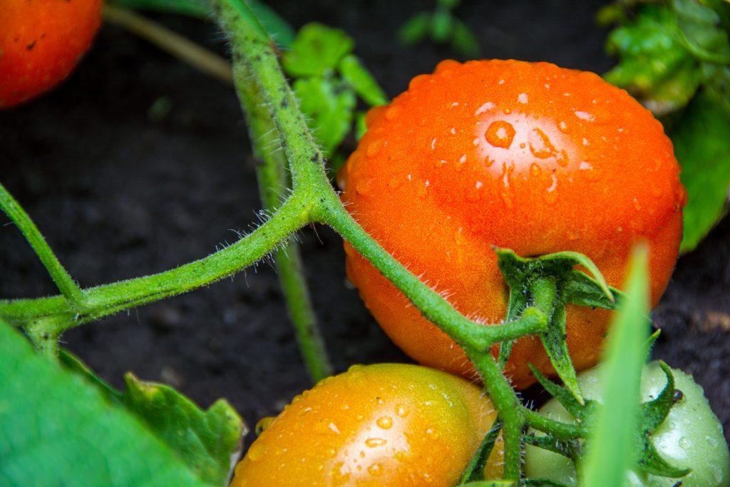 Томат Толстый Джек характеристика и описание сорта урожайность с фото
