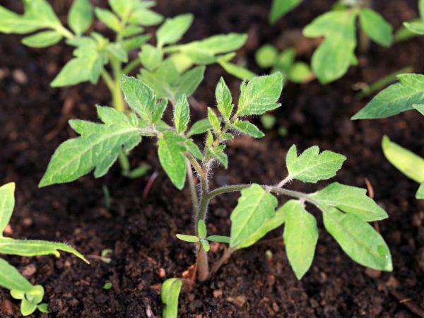 Рекомендуется выращивать рассаду в открытом грунте