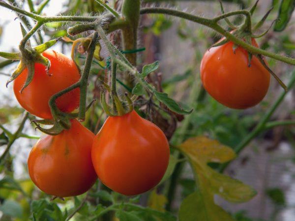 Характеристика томата Японский трюфель