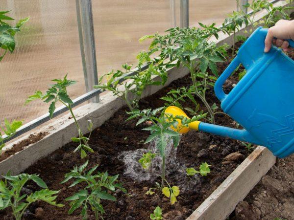 При отсутствии вентиляции растение может сгнить