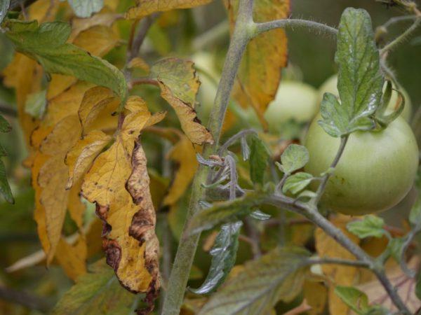 Болезнетворные грибки могут навредить корневой системе растения