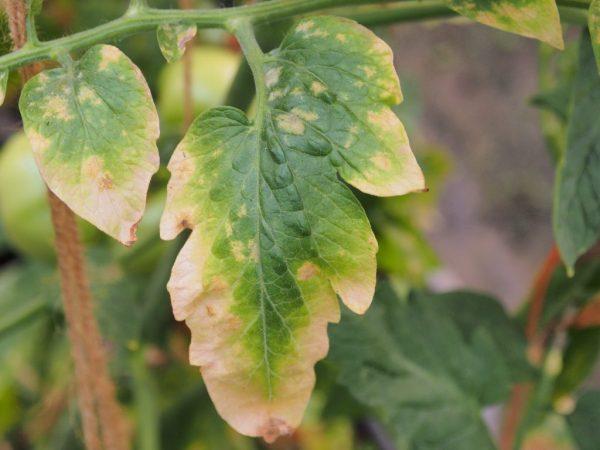 Болеют и желтеют листья у помидоров в теплице