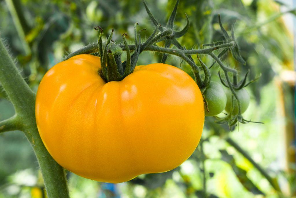 Характеристика и описание томата сорта Золотое Сердце