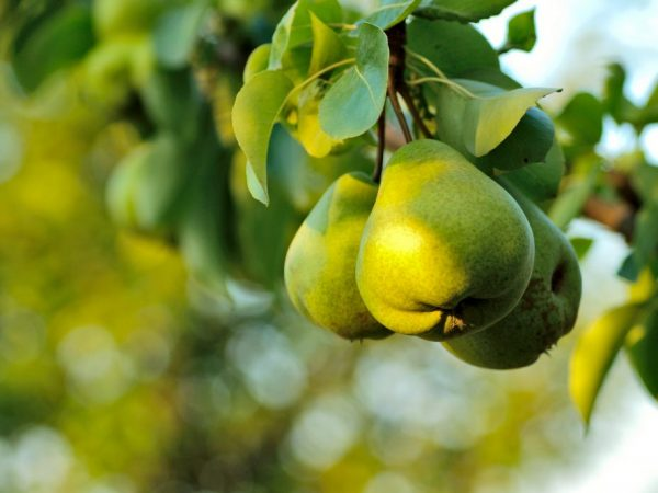 Плоды желто-зелёного цвета, весом 120-150 г