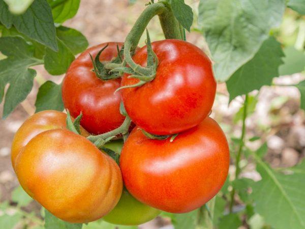 Характеристика томатов сорта Бабушкино Лукошко