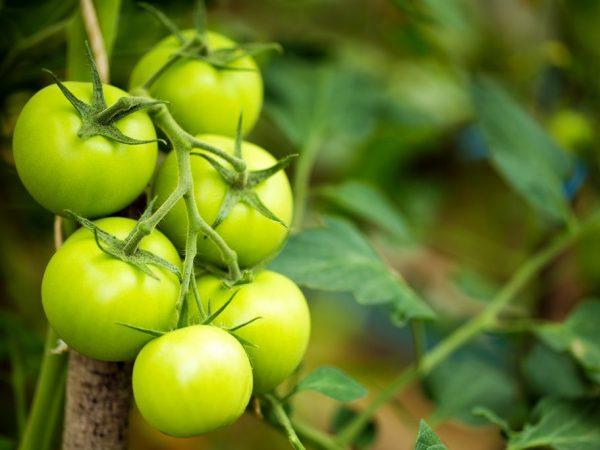 Правильный уход позволит получить хороший урожай