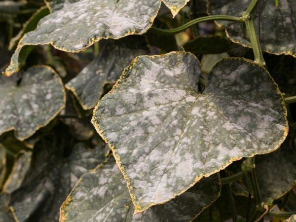 Больные растения нужно срочно удалить