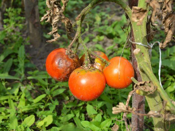 Признаки болезни рассады помидор