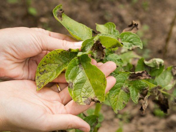 Плохие листья и медленный рост