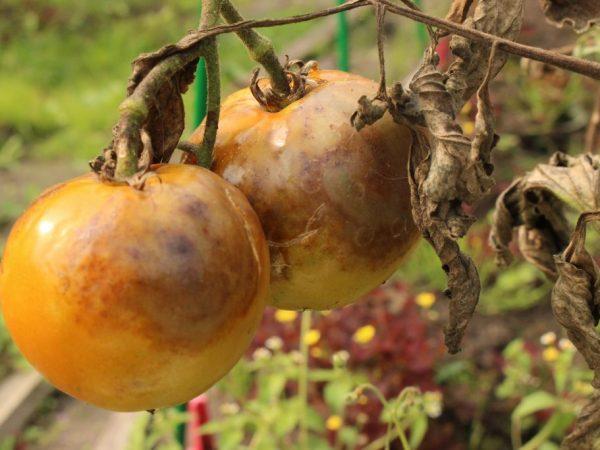 Распространенные болезни томатов