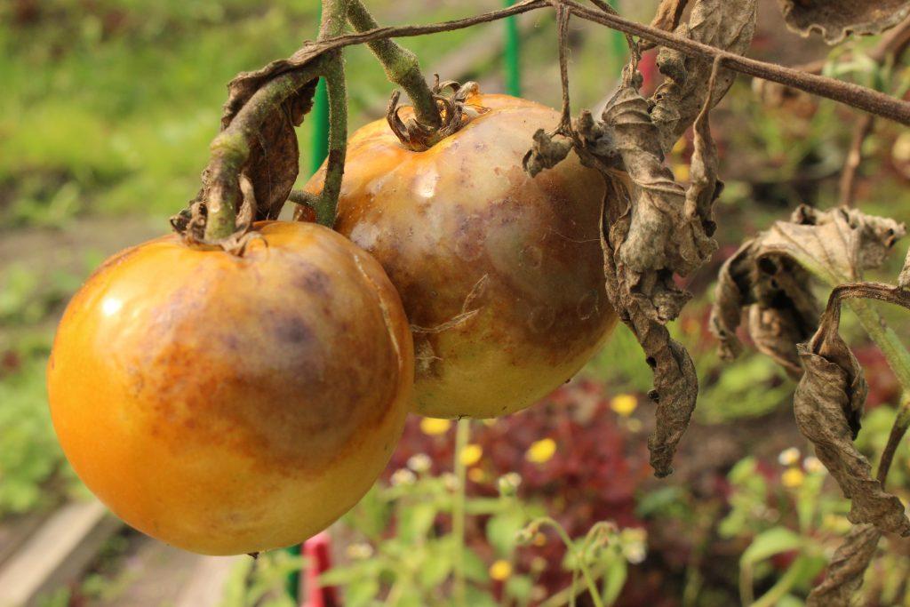 Болезни томатов виды симптомы лечение