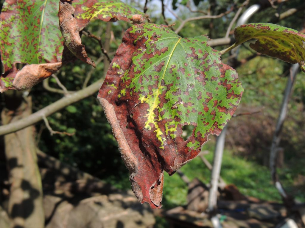дерево болезни фото груша